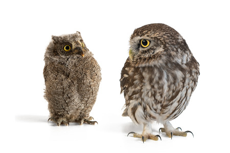 Little Owl (Athene noctua) and European scops owl (Otus scops) standing on a white background. Stock Photo