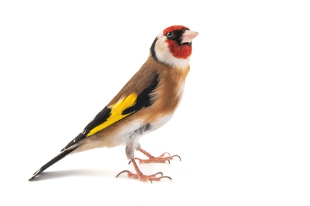 European Goldfinch, carduelis carduelis, standing isolated on white background Zdjęcie Seryjne
