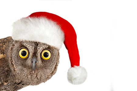 European scops owl, Otus scops, with santa hat. Isolated on white background. Stock Photo