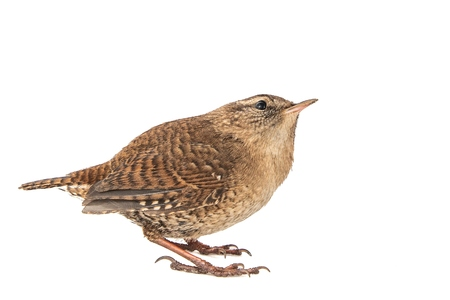 Eurasian Wren, Troglodytes troglodytes, isolated on white background