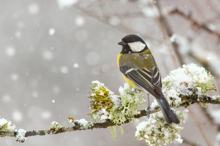 Great tit, Parus major, sitting on a branch with moss during a snowfall. 免版税图像