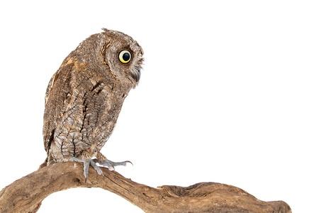European scops owl, Otus scops, sitting on a stick. Isolated on white background.