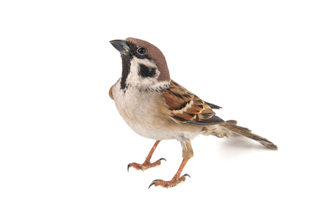 Eurasian Tree Sparrow, Passer montanus, isolated on white background,