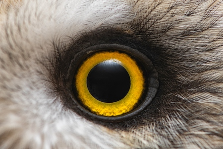 Owls eye close-up, macro photo, Eye of the Short-eared Owl, Asio flammeus.