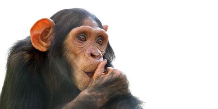 Portrait of comical chimpanzee isolated on white background. Stock Photo