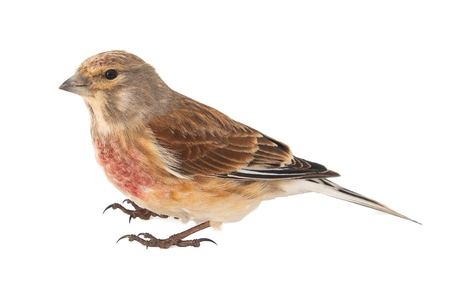Common linnet, Carduelis cannabina, isolated on white background. Male