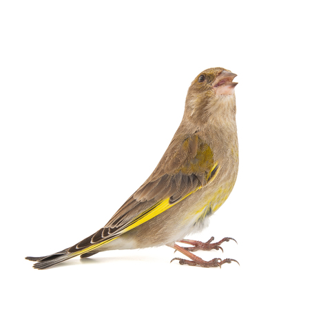Greenfinch isolated on a white background. Carduelis chloris. Female Stock Photo