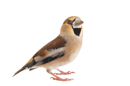 Hawfinch, Coccothraustes coccothraustes, isolated on white background Female