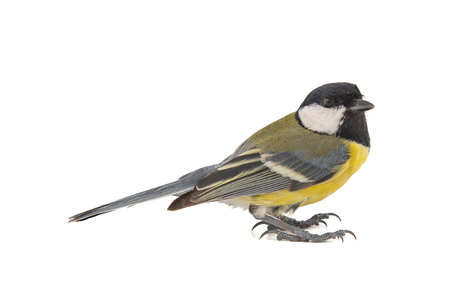 Male great tit, Parus major, isolated on white background. Female Standard-Bild - 121702422