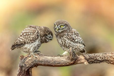 Owls in natural habitat. Two little owl, Athene noctua, sitting on a stick. Standard-Bild - 121702662