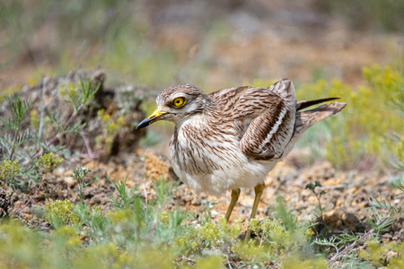 Eurasian stone curlew, Burhinus oedicnemus, stands in the grass. Standard-Bild - 121702681