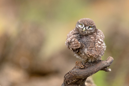 The young little owl, Athene noctua, sitting on a stick and looking at the camera. Standard-Bild - 121702691