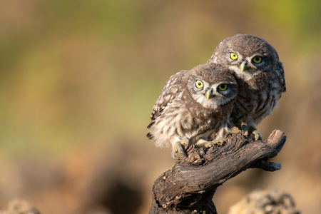 Owls in natural habitat. Two little owl, Athene noctua, sitting on a stick. Standard-Bild - 121702696