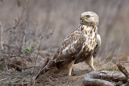 Rough-legged Buzzard, Buteo lagopus, stands on a broken branch. Standard-Bild - 121702702