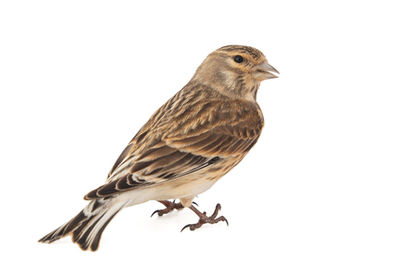 Common linnet, Carduelis cannabina, isolated on white background. Female Standard-Bild - 121702728