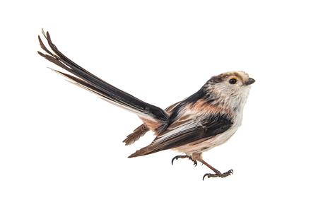 Long-tailed tit, Aegithalos caudatus, isolated on white background. Standard-Bild - 121702732