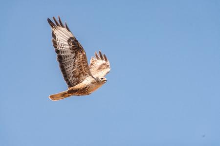 Buzzard, Buteo rufinus, flies against the blue sky Standard-Bild - 121702736