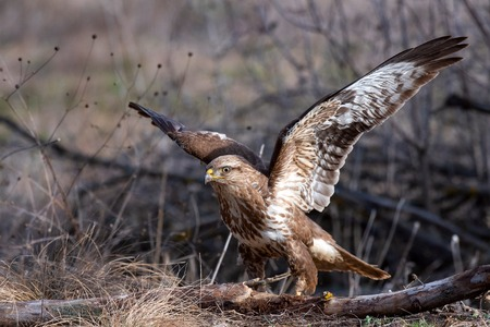 Common buzzard, Buteo buteo, stands on the ground with open wings. Standard-Bild - 121702740