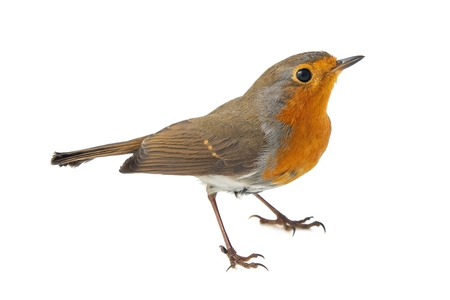European robin, Erithacus rubecula, isolated on a white background.