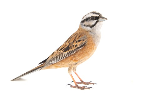 Rock bunting, Emberiza cia, isolated on white background. Male