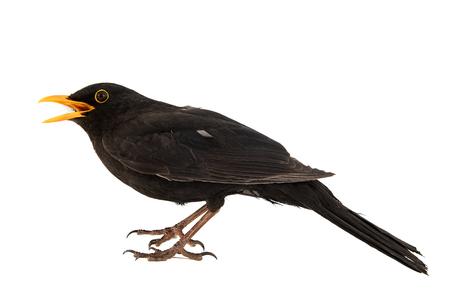 Blackbird, Turdus merula, isolated on white background.