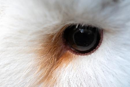 Owl eye close-up, macro photo, eye of the female Barn owl, Tyto alba