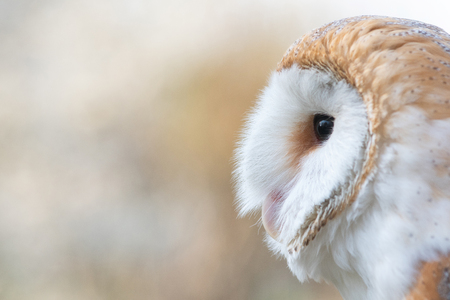 The Barn owl, Tyto alba, Close-up portrait.