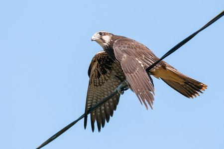 Saker falcon, falco cherrug, sitting on the wire Standard-Bild - 123897784