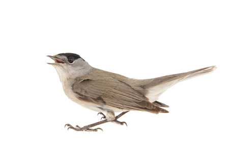 Blackcap, Sylvia atricapilla, male Isolated on white background Standard-Bild - 123897789