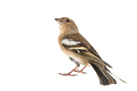 Female Chaffinch, Fringilla coelebs, isolated on white background Standard-Bild - 123897790