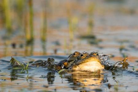 Two Green Marsh Frog in the water. Pelophylax ridibundus. Standard-Bild - 123897796