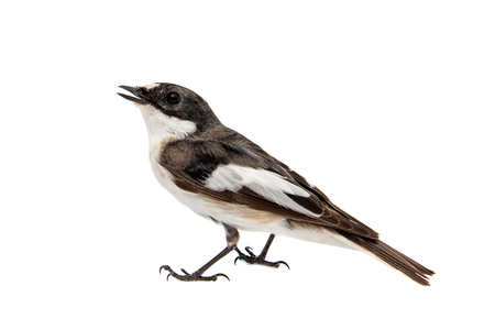 Pied Flycatcher, Ficedula hypoleuca, Male. Isolated on white background Standard-Bild - 123897800