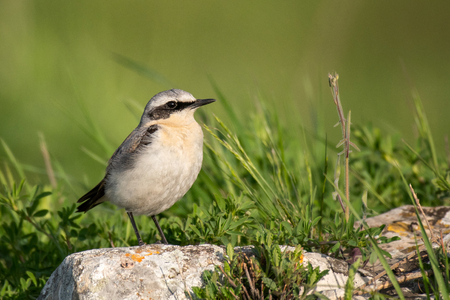 Northern Wheatear, Oenanthe oenanthe, sits on a stone on a beautiful green background. Standard-Bild - 123897809
