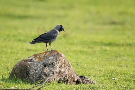 Jackdaw, Coloeus monedula, sits on a stone on a beautiful green background. Standard-Bild - 123897811