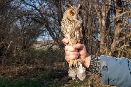 Long eared Owl, Asio otus. Bird in the hands of man. Standard-Bild - 123897812