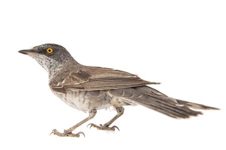 Barred Warbler, Sylvia nisoria, isolated on white background Standard-Bild - 123897818