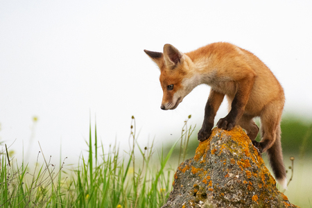 Baby Fox. Young red Fox on the stone near his hole. Standard-Bild - 123897823