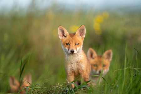 Young little Fox sits near his hole. Standard-Bild - 123897836