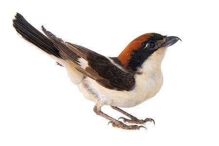 Woodchat Shrike, Lanius senator, isolated on white background Standard-Bild - 123897839