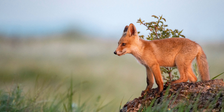 Fox cub. Young red Fox stands on a rock in the evening light. Standard-Bild - 123897841