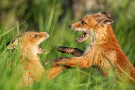 Fox cubs. Two young red Foxes playing in the grass. Standard-Bild - 123897842