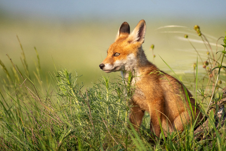 Fox cub. Young red Fox sits in the grass. Standard-Bild - 123897849