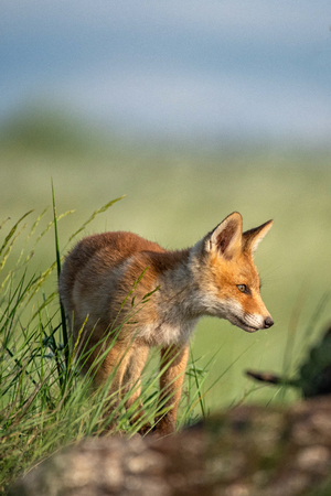 Baby Fox. Young red Fox in grass near his hole. Standard-Bild - 123897850