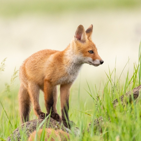 Young red Fox stands on a rock on a beautiful light. Standard-Bild - 123897858