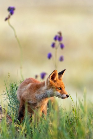Young red Fox in grass near his hole. Standard-Bild - 123897863