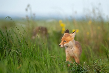 Baby Fox. Young red Fox in grass near his hole. Standard-Bild - 123897864