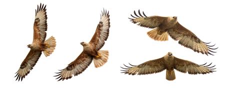 Birds of prey - Set of Long legged buzzard, Buteo rufinus, in flight. Isolated on white. Standard-Bild