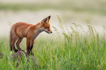 Young red Fox stands on a rock in the grass.