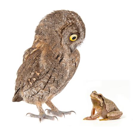 Collage with European scops owl, Otus scops, and European green tree frog, Hyla arborea. Isolated on white. Фото со стока - 127520027