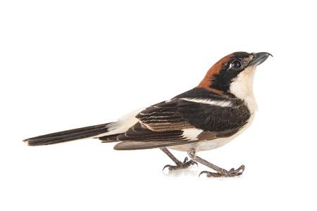 Woodchat Shrike, Lanius senator, isolated on white background Фото со стока